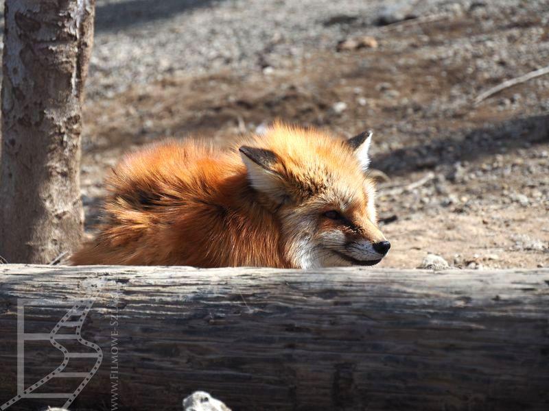 Lis w Zao Fox Village