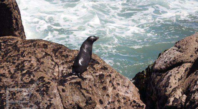Przylądek Foulwind i kolonia fok (kotik nowozelandzki)