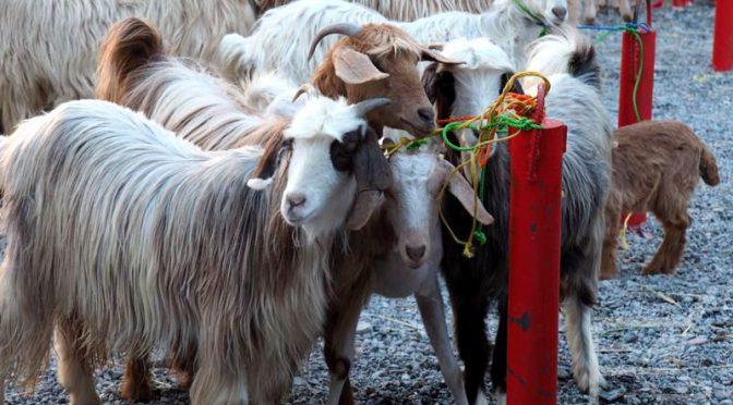 Nizwa, kozi targ, suk i fort w Omanie