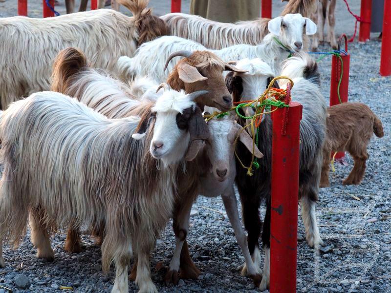 Kozi targ w Nizwie (Oman)