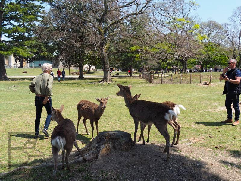 Nara Park i jelenie sika