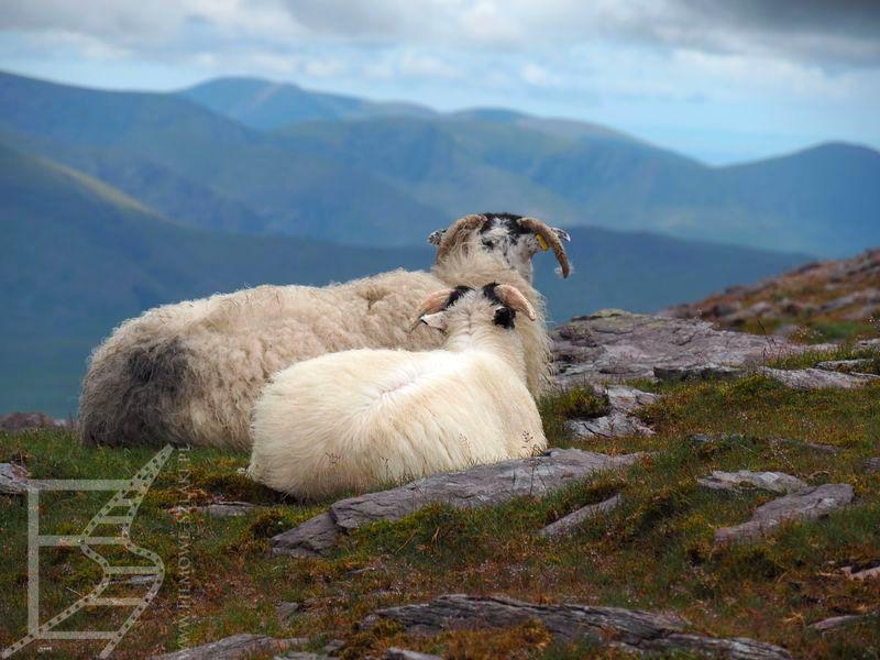 Trawa, owce, kamienie, góry, czyli Irlandia