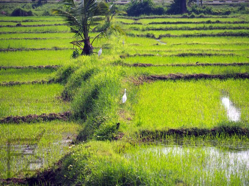 Anuradhapura i pole ryżowe