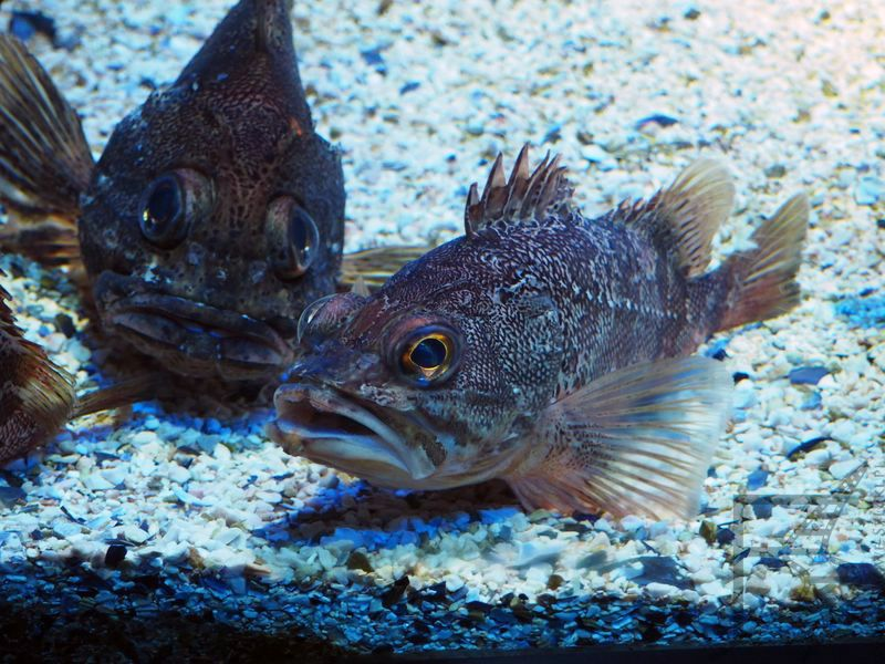 Skorpena  (Scorpaena notata, mała czerwona z ang. Small red scorpionfish), Cretaquarium, Kreta