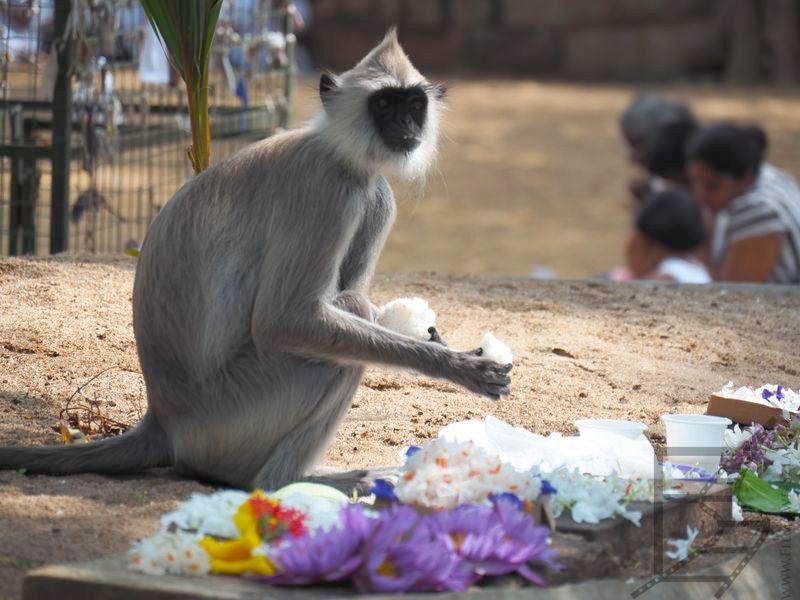Hulman (Semnopithecus priam) lub czasem langur popielaty lub langur hulman, częstujący się darami w świątyni drzewa Bohdi (Anuradhapura)