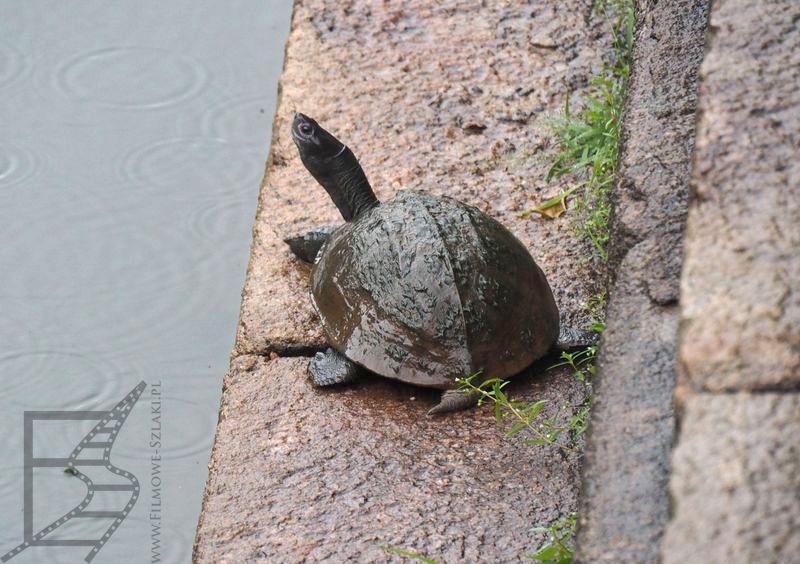 Indyjski żółw czarny (Melanochelys trijuga)