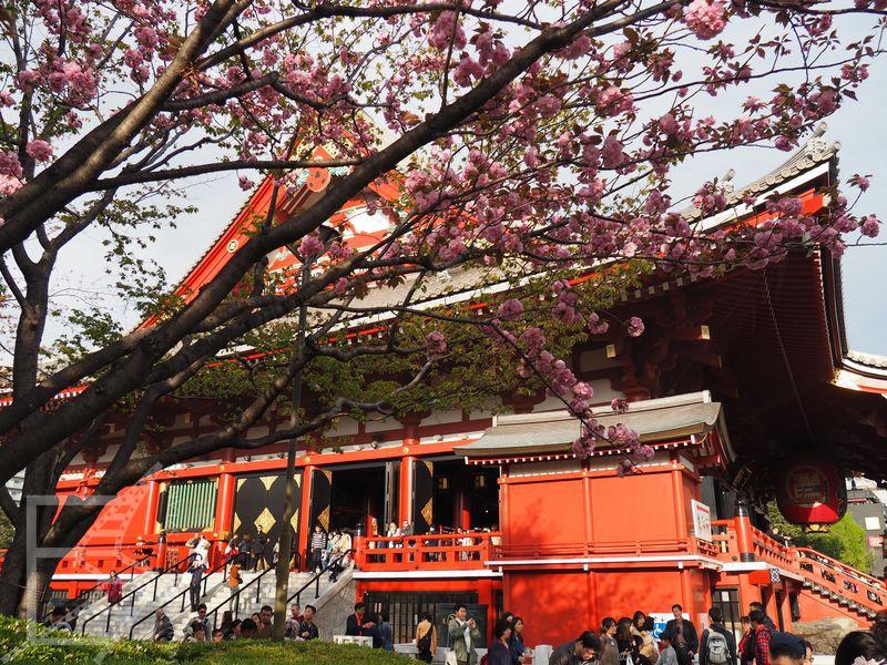 Sensō-ji, Asakusa w trakcie kwitnienia wiśni