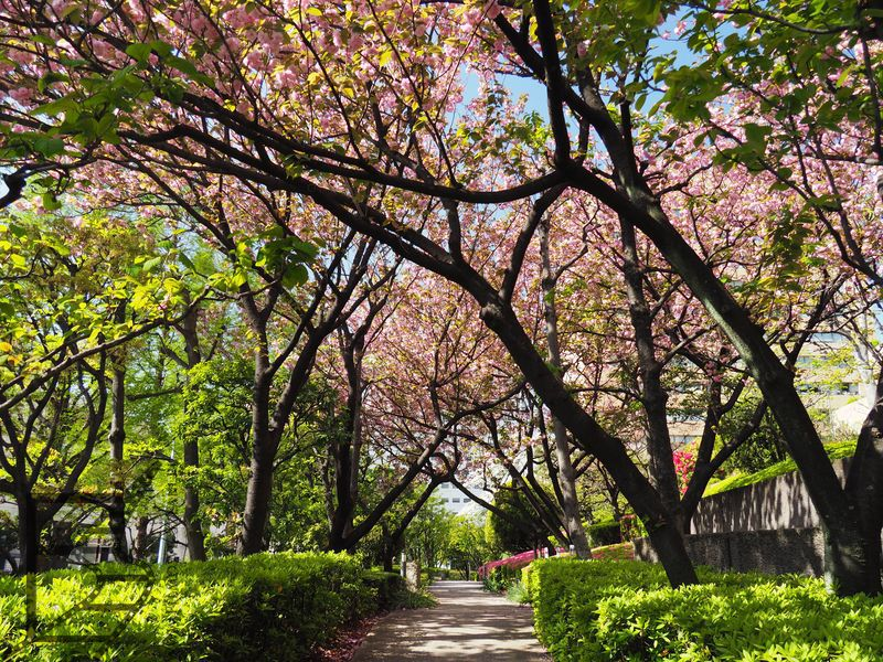 W Tokio jest bardzo dużo terenów zielonych, nawet niewielkich. Cieszą szczególnie w trakcie hanami.