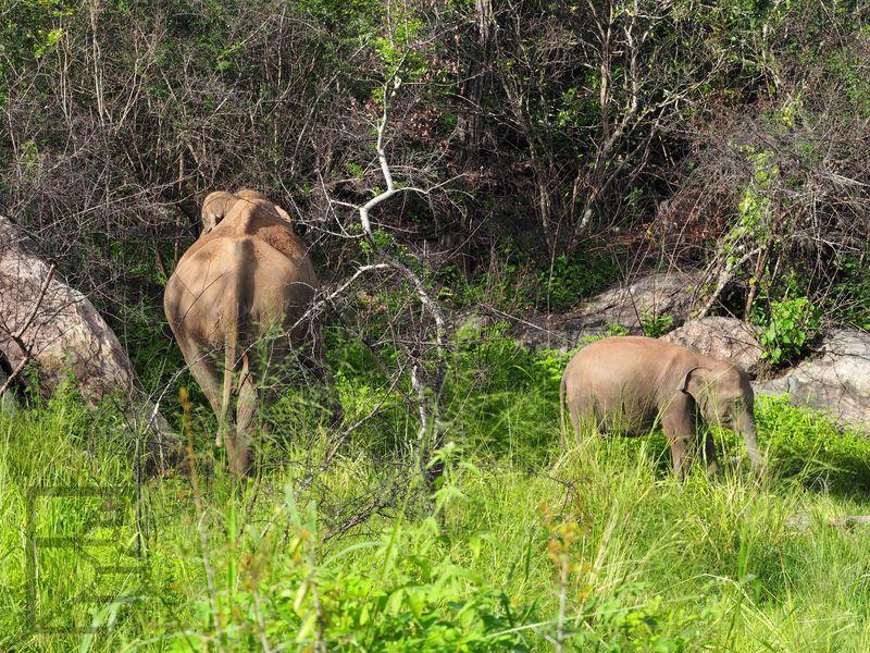 Słonie indyjskie w Hurulu