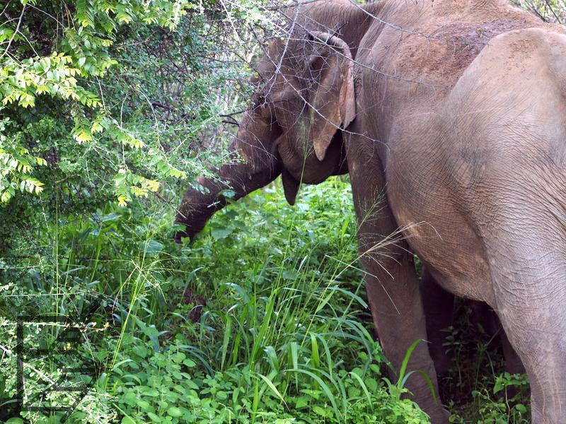 Słoń indyjski (Hurulu, Sri Lanka)