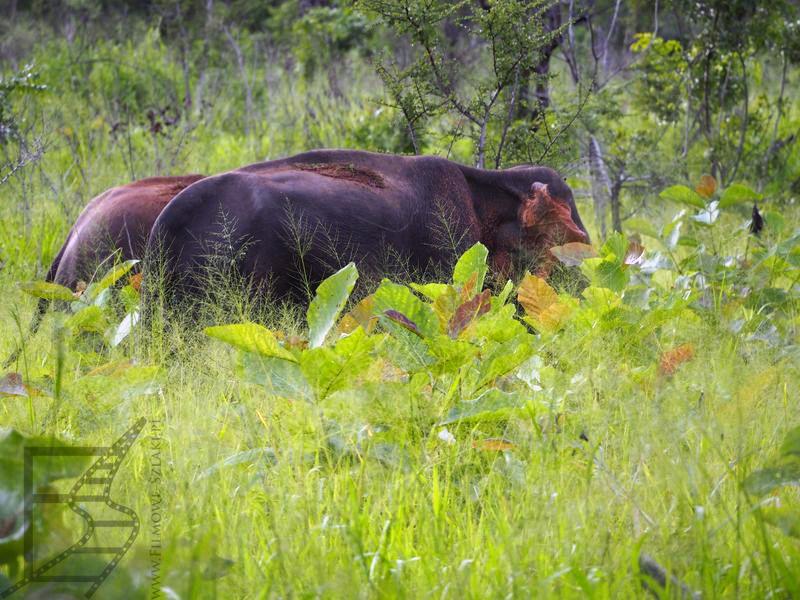 Słonie w trawie