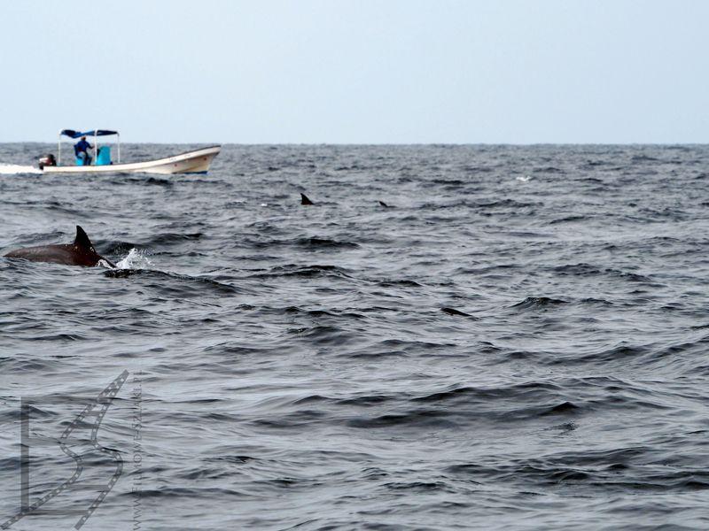 Zatoka Omańska: Wypatrywanie delfinów