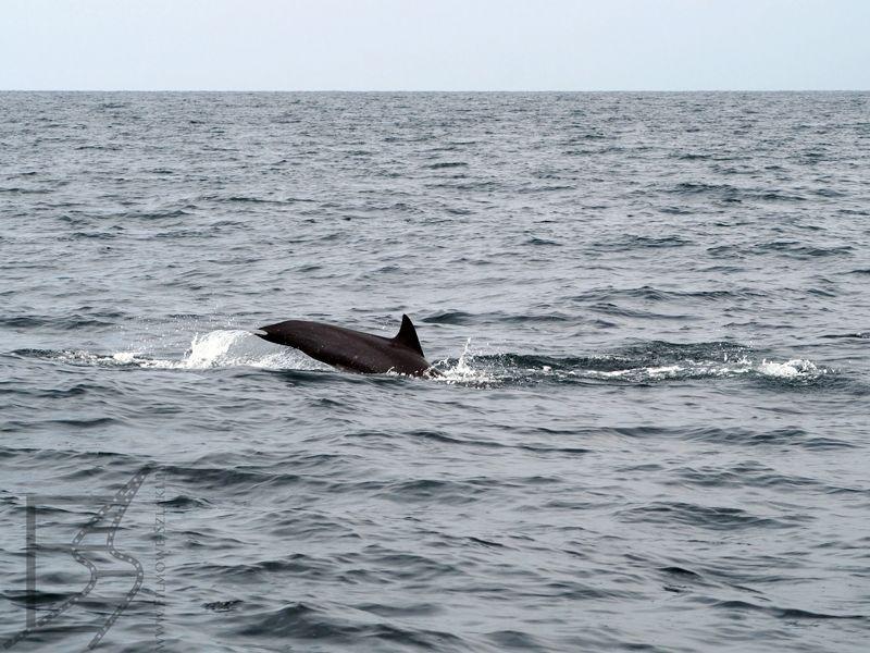 Ogon delfina