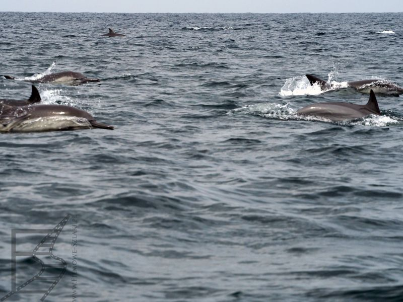 Stado delfinów, Zatoka Omańska