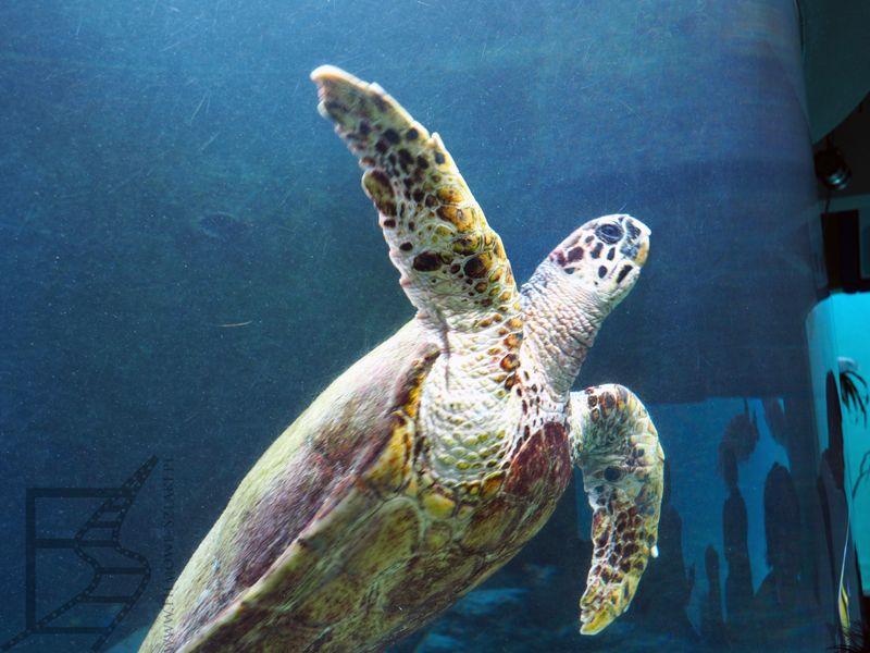 Żółw morski w Churaumi