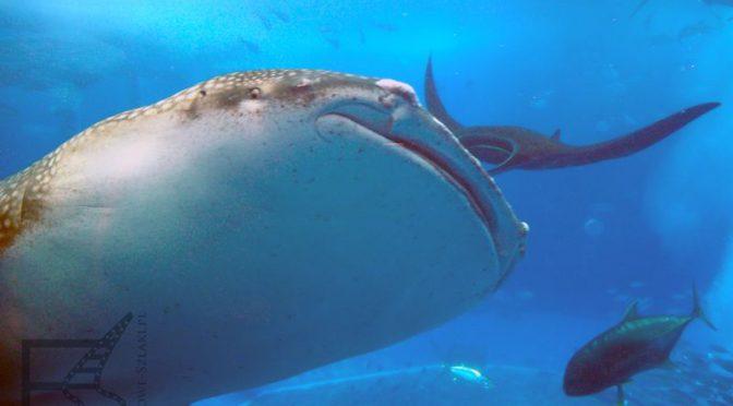 Churaumi Aquarium, oceanarium na Okinawie
