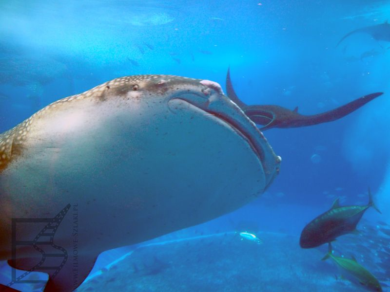 Rekin wielorybi, Churaumi Aquarium, Okinawa