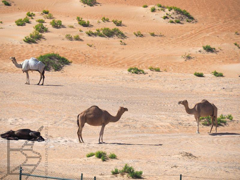 Dromadery, pustynia Liwa
