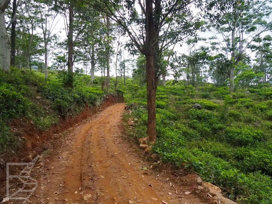 Droga między polami herbacianymi w Kandy
