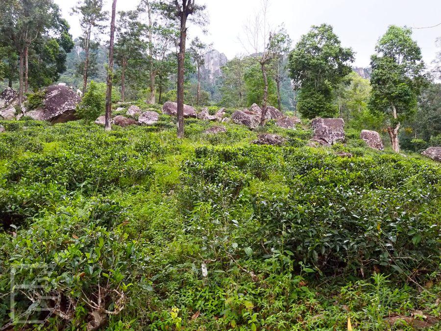 Pola herbaciane otaczające Kandy