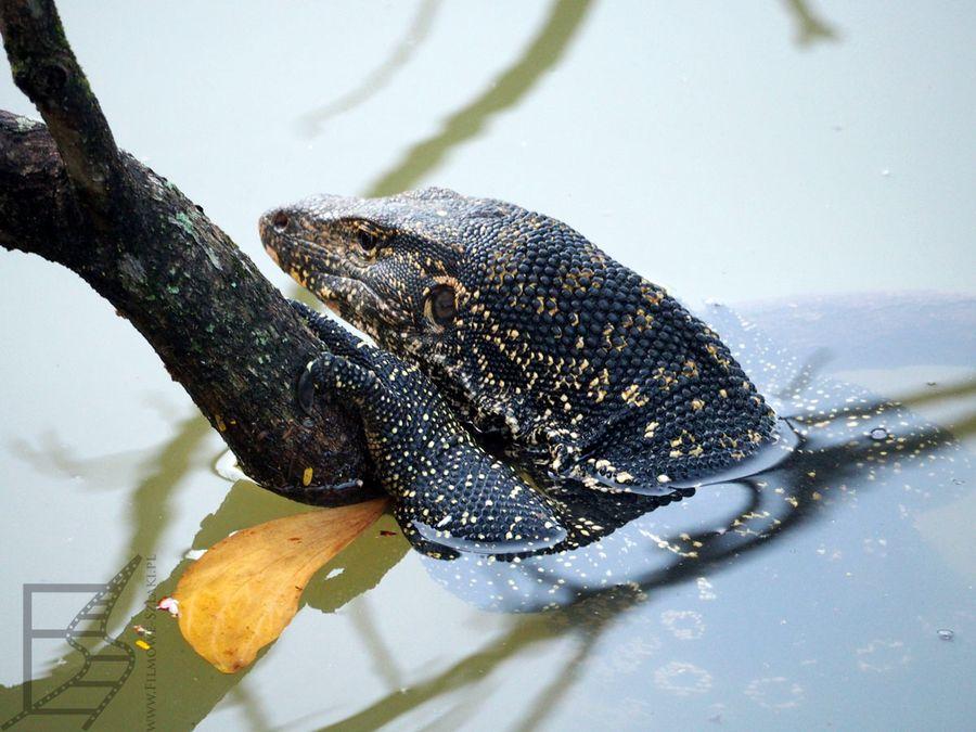 Waran paskowany w jeziorze