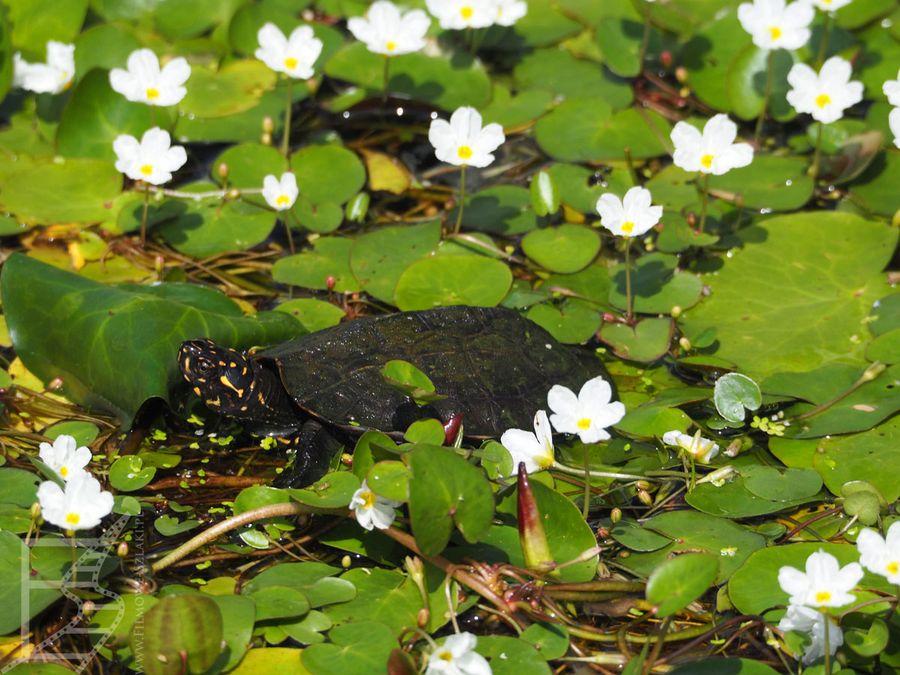 Żółw w Ogrodzie Peradeniya
