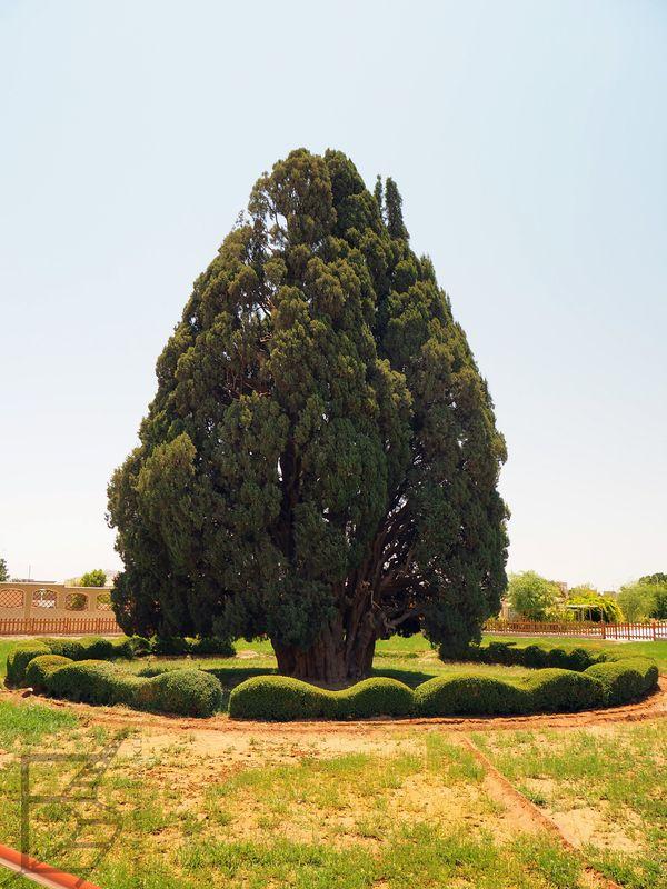 Stary Cyprys w Abarkuh, najstarsze drzewo w Iranie