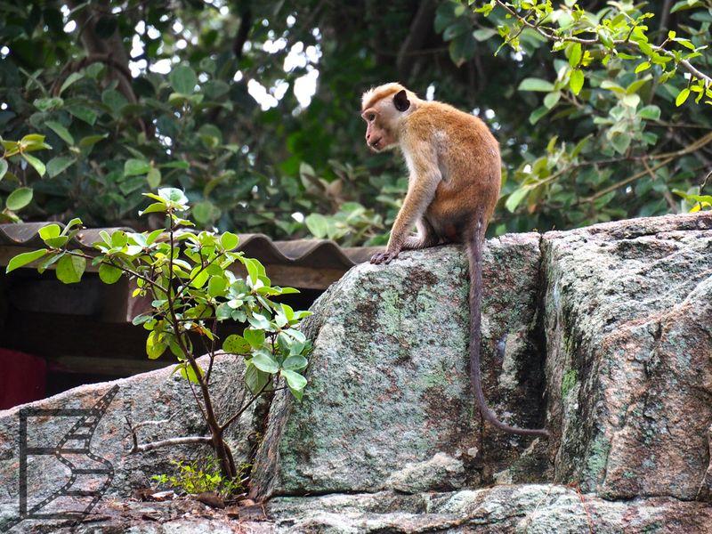 Makak rozczochrany (Macaca sinica)