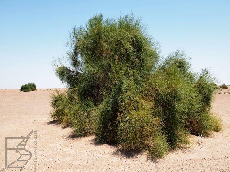 Roślinność na pustyni Marandżab