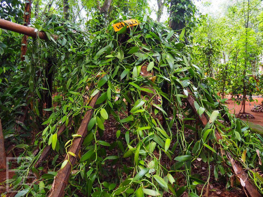 Wanilia w ogrodzie przyprawowym w Matale