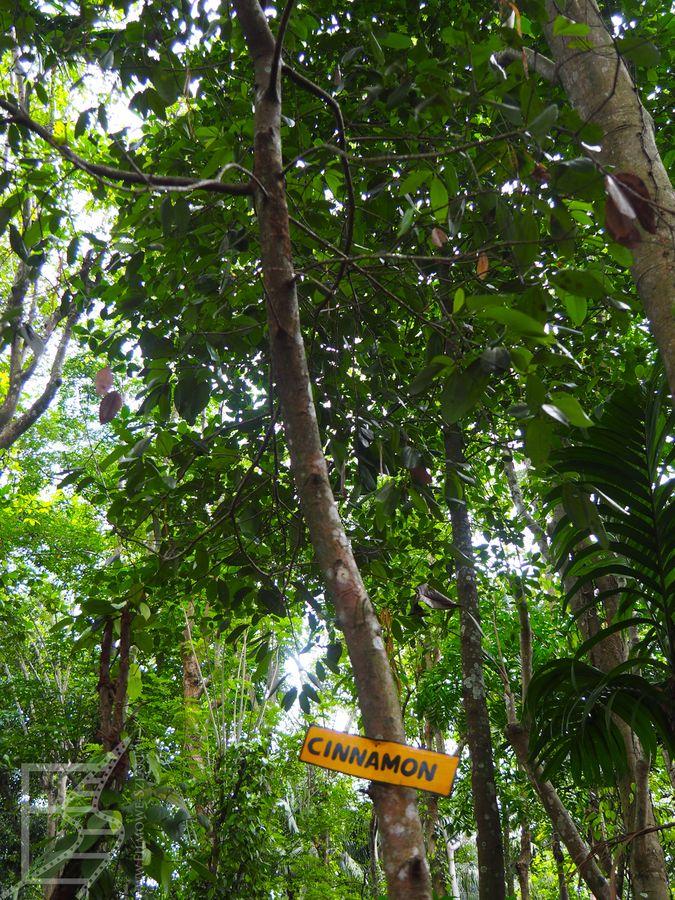 Cynamon (Matale, Sri Lanka)