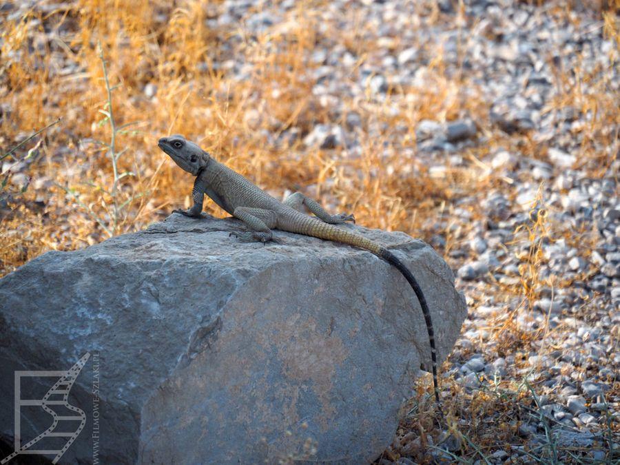 Jaszczurka w Persepolis