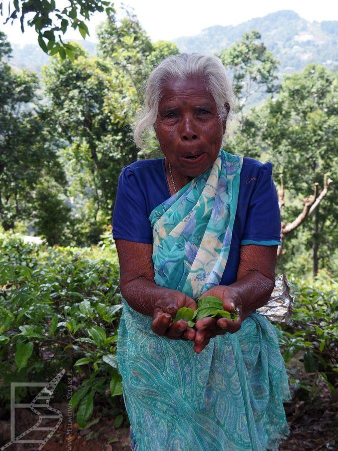 Kobieta tamilska zbierająca herbatę