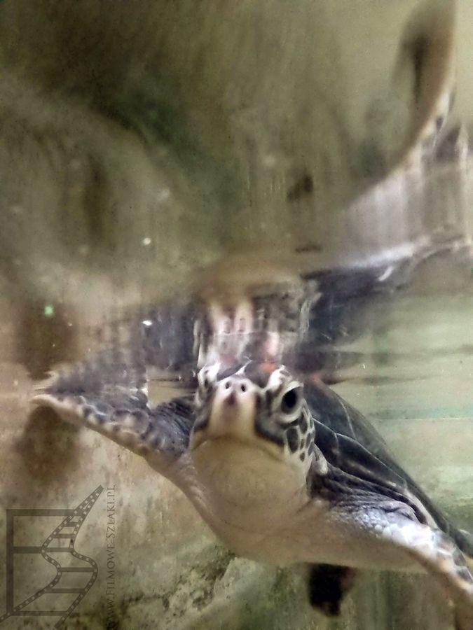 żółwik w basenie
