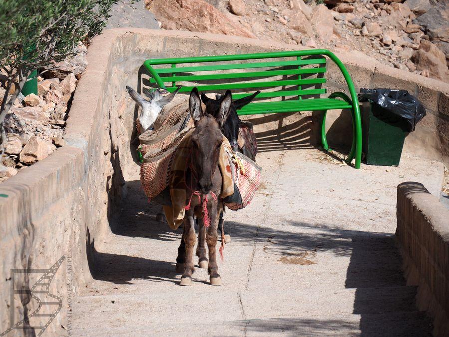 Osiołek na drodze do świątyni