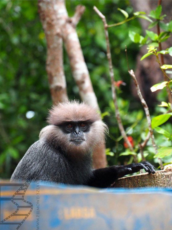 Małpa w okolicy Balapitiya