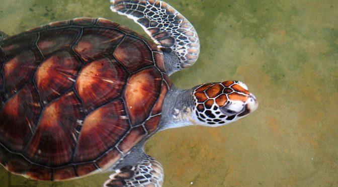 Żółw w wylęgarni (Kosgoda)