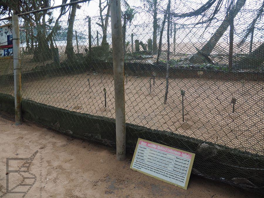 Żółwie jaja w piasku (Wylęgarnia w Kosgoda)