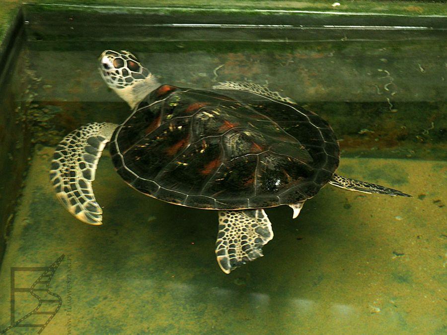 Jeden z żółwi trzymany w wylęgarnii
