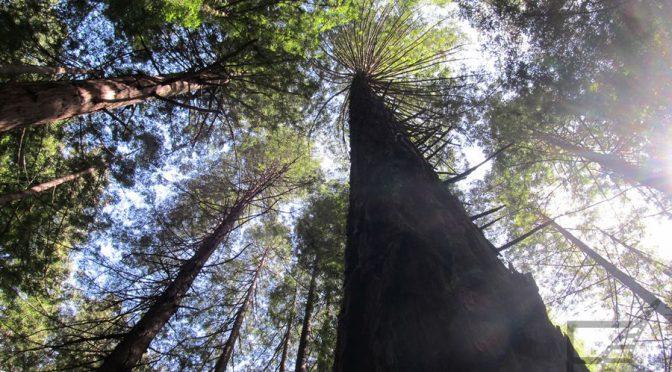 Sekwoje w Redwood