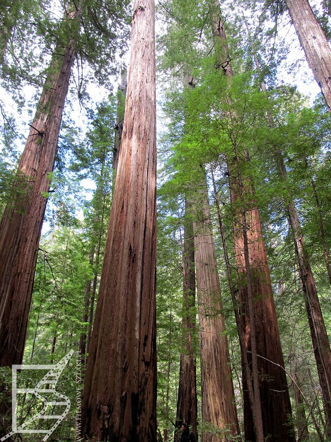 Las Redwood