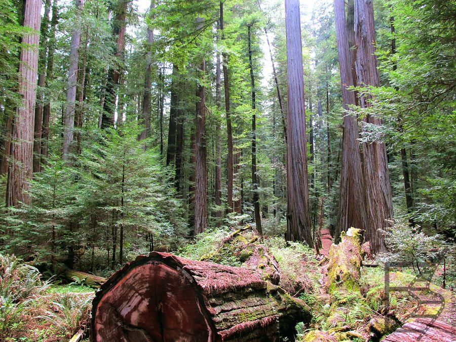 Ścieżki w Redwood