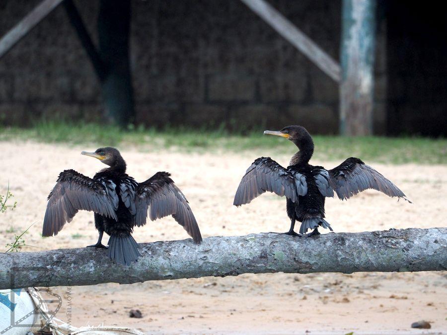 Suszące się kormorany