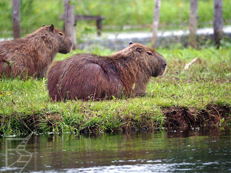 Kapibara wielka (Hydrochoerus hydrochaeris), czyli największy żyjący na świecie gryzoń
