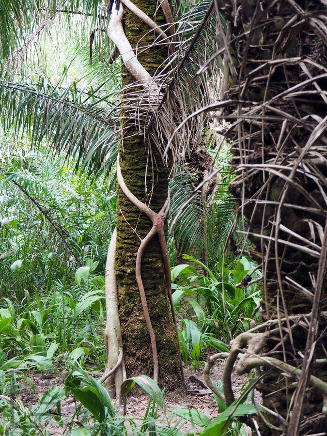 Palma porośnięta przez pasożyty