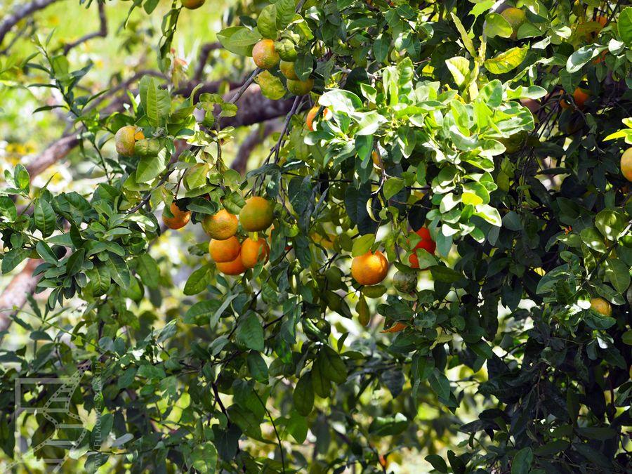 Świeże owoce (Pantanal, Brazylia)