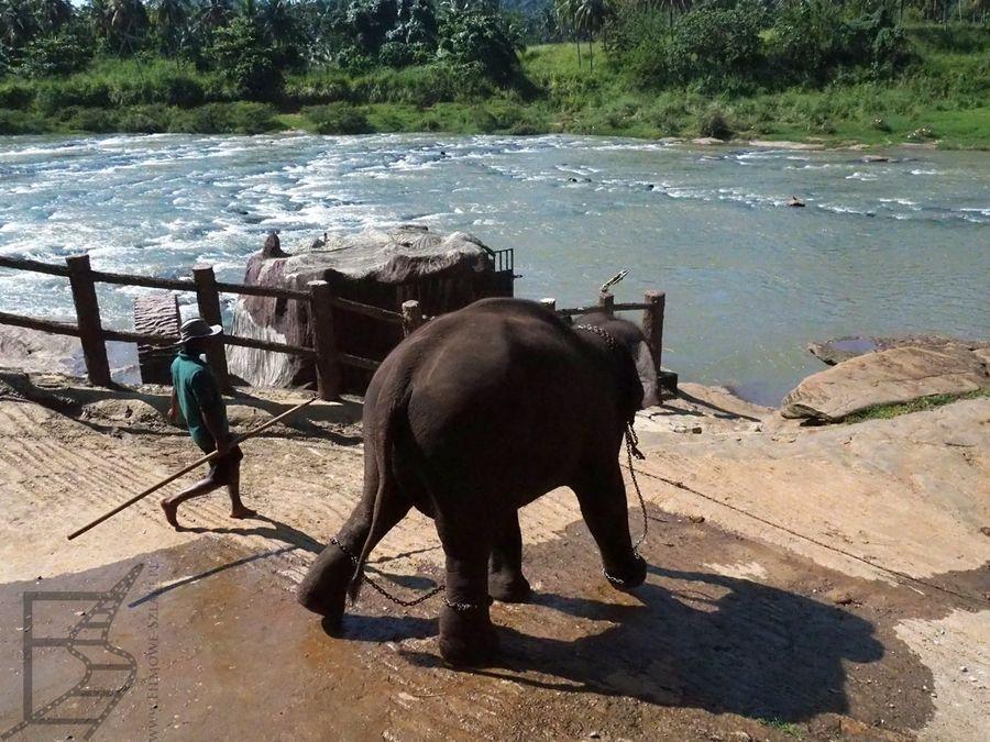 Słoń jest prowadzony do kąpieli w Maha Oya