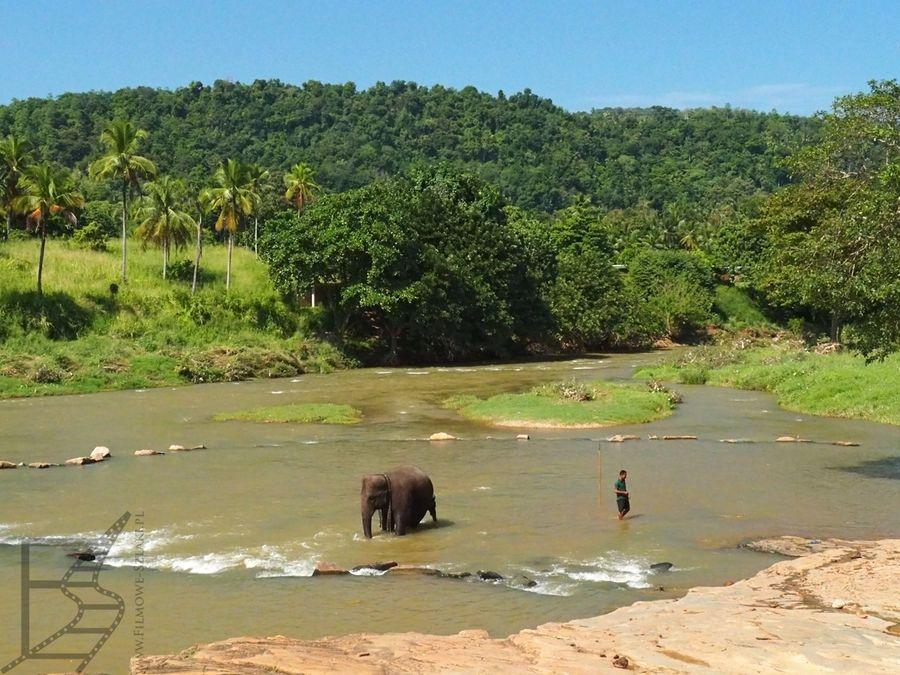 Pinnawala i kąpiel słoni w rzece