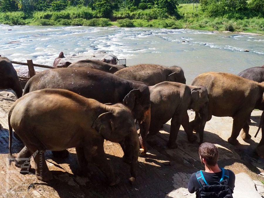 Słonie prowadzone do kąpieli