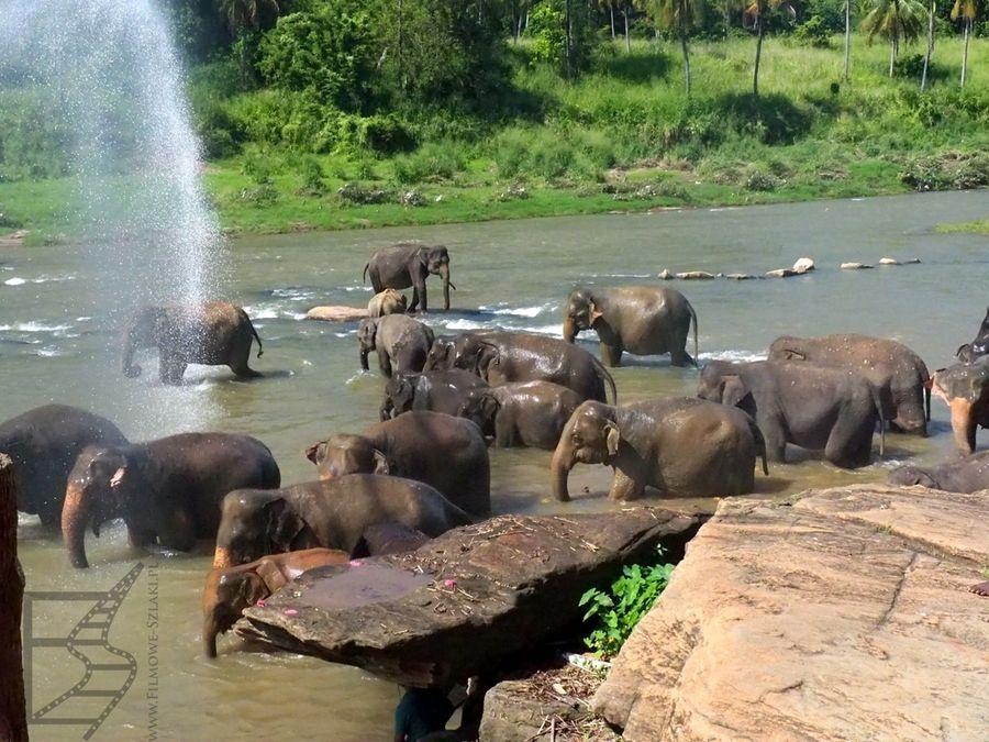Mycie słoni w Pnnawala (zbiorowo)